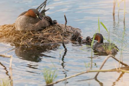 カイツブリ (Tachaybaptus 区) 浮動小数点巣で海老の授乳します。 少年のアヒルと湖の生息地で親。 写真素材
