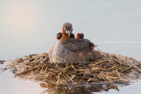 カイツブリ (Tachaybaptus 区) は、浮動小数点巣で背中に赤ちゃんと。 少年のアヒルと湖の生息地で親。 写真素材