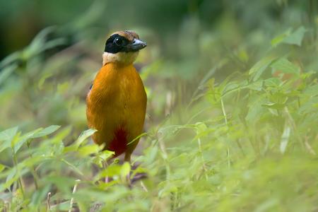 美しい鳥が地面に地球のワームを探しています。 繁殖季節における青い翼ピッタ (ピッタ moluccensis)。