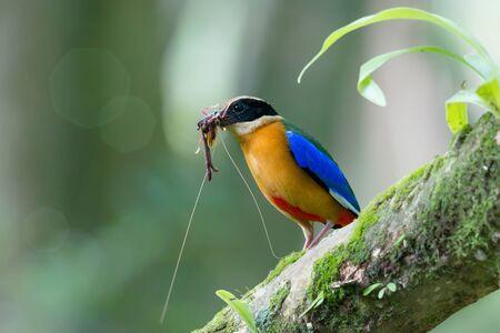 地球のワームや枝に止まった口の中でキリギリスの美しい鳥。 青い翼ピッタ (ピッタ moluccensis) 繁殖期、巣に赤ちゃんのための新鮮な食品を準備しま
