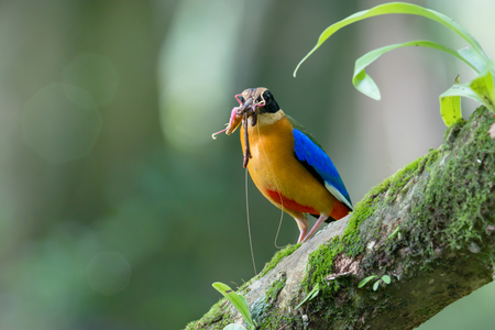 Beautiful bird with earth worm and grasshopper in mouth perching on branch,bokeh and blurred background. Blue winged pitta ( Pitta moluccensis ) in breeding season,preparing fresh food for their babies in the nest .