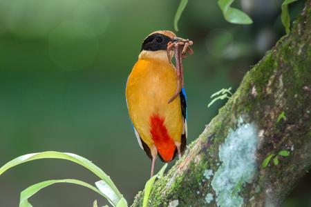地球の美しい鳥が止まった枝に口の中にワームします。 青い翼ピッタ (ピッタ moluccensis) 繁殖期、巣に赤ちゃんのための新鮮な食品を準備します。