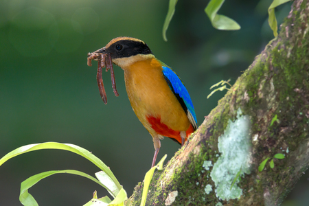 Beautiful bird with earth worm in mouth perching on branch. Blue winged pitta ( Pitta moluccensis ) in breeding season,preparing fresh food for their babies in the nest .