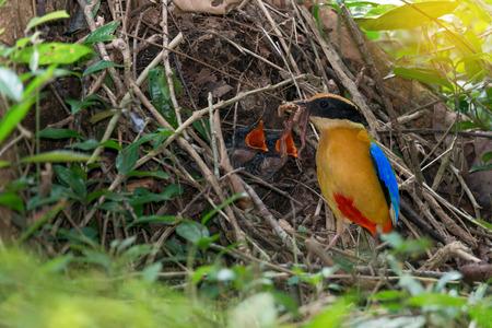 親、赤ちゃんに選択と集中で腹、巣の若い鳥は。 完全羽を持つ少年青い翼ピッタ (ピッタ moluccensis) は、地球のワームに与えていた。