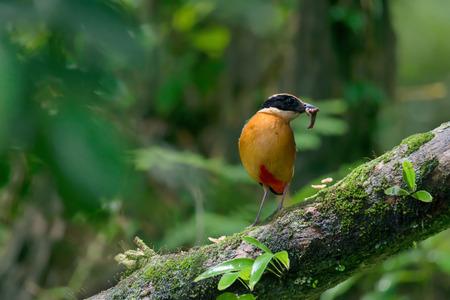 地球の美しい鳥が止まった枝に口の中にワームします。 青い翼ピッタ (ピッタ moluccensis) 繁殖期、巣に赤ちゃんのための新鮮な食品を準備し 写真素材