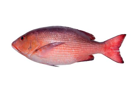 Two spot red snapper fresh fish from deep andaman sea laying on green banana leaf  isolated on white background,top view. Deep sea live fresh fish ,straight shape.