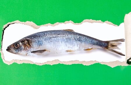 Atlantic herring isolated on a torn strip of paper Stok Fotoğraf