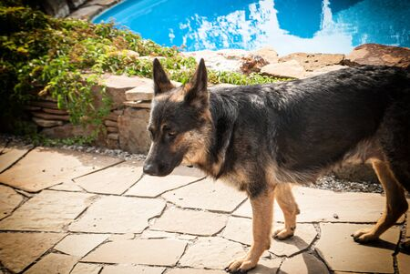 young german shepherd on the background of the pool Stok Fotoğraf