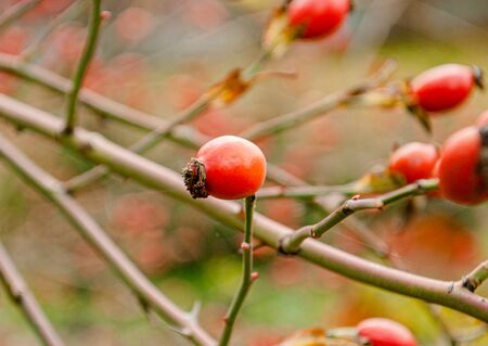 Rosehip berries on a bush branch in autumn
