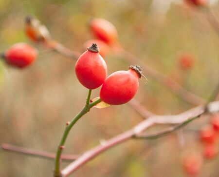 Rosehip berries on a bush branch in the fall for background close-up