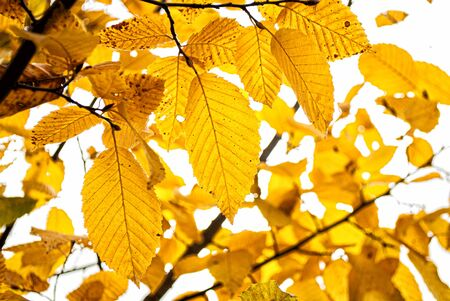 Branches with yellow leaves on a background of gray sky Stok Fotoğraf