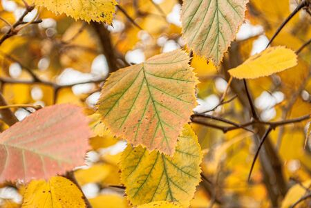 Branches with yellow-green autumn leaves on a background of gray sky