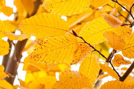 yellow autumn leaves on a background of gray sky for background and wallpaper
