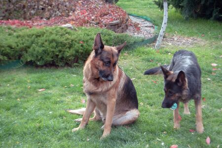 Two german shepherds on a green lawn