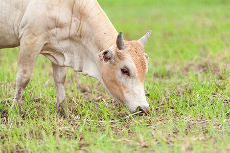 beast ranch: cow
