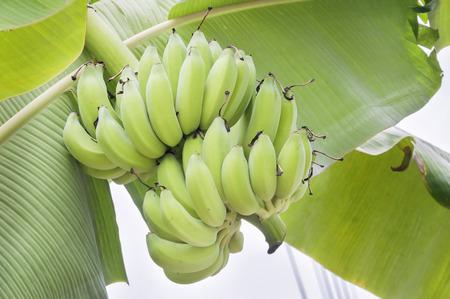 botanical farms: Banana tree in asia