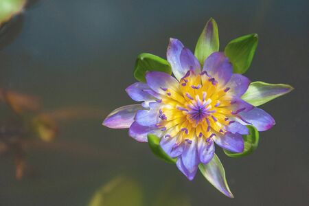 Beautiful lotus flower purple water in pond with copy space Banque d'images - 132061471