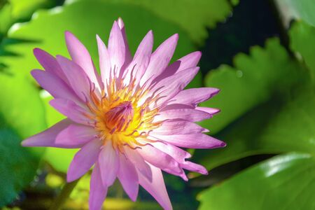 Beautiful pink lotus flower water  in pond with copy space Banque d'images - 132061729
