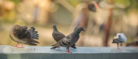 メッセンジャー ハトの A 鳩コート セレクティブ フォーカス 写真素材