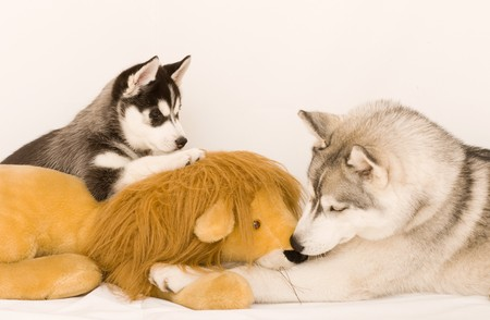 huskies: siberian huskies Stock Photo
