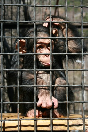 A little chimpanzee contemplating life behind bars in a big city zoo photo