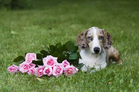 dachshund with roses Stock Photo - 5036357