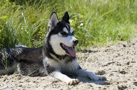 siberian husky photo