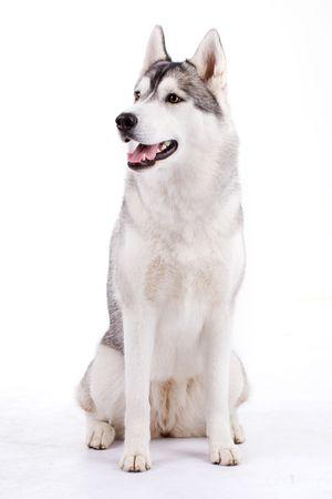 husky isolated photo