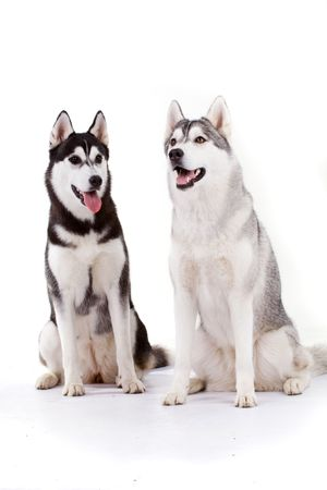 gray wolf black and white: siberian husky