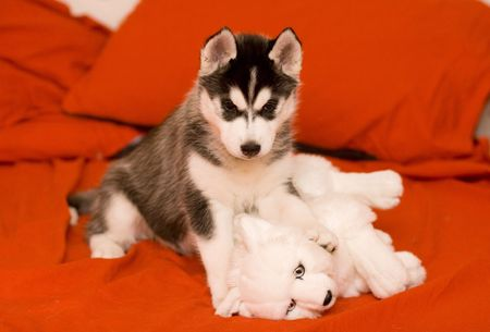 husky photo