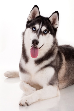 blue eye husky: siberian husky isolated on white