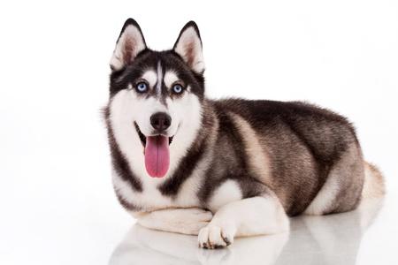 Siberian Husky isoliert auf weiss