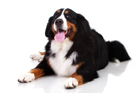 Berner Sennenhund dog isolated on white photo