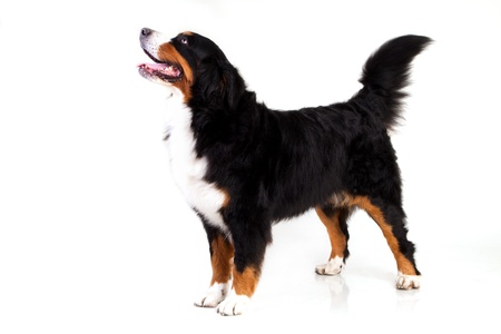 白で隔離されるバーナー Sennenhund 犬