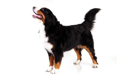 bernese: Berner Sennenhund dog isolated on white Stock Photo