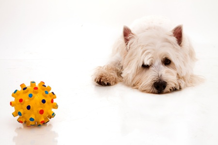 West Highland White Terrier Lizenzfreie Bilder