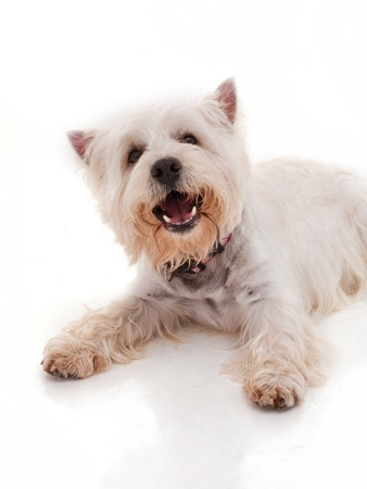 cute westie: West Highland White Terrier Stock Photo