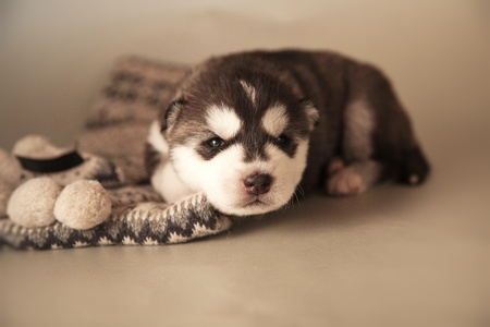 little puppy of siberian husky photo