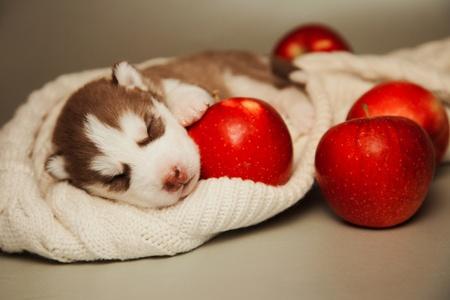 little puppy of siberian husky photo