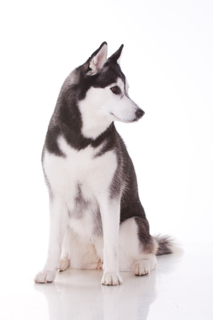 portrait of siberian husky dog photo