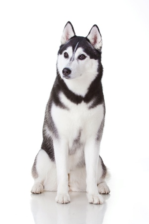 alaskan: portrait of siberian husky dog Stock Photo