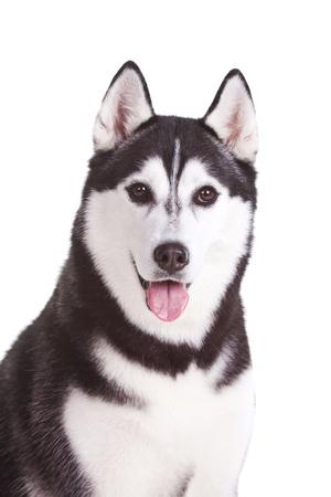 portrait of siberian husky dog Stock Photo