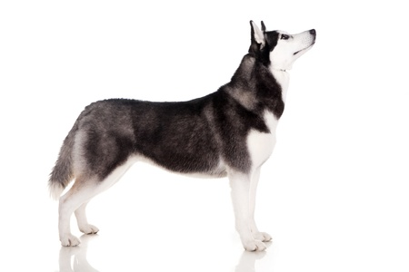 portrait of siberian husky dog Stock Photo