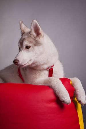 husky puppy Stock Photo - 12503382