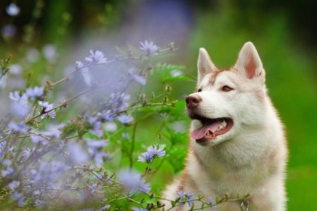 portrait of siberian husky in summer