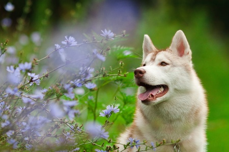 portrait of siberian husky in summer