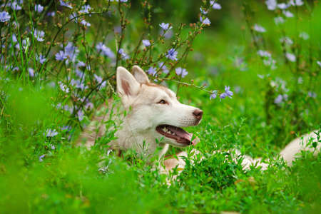 portrait of siberian husky in summer photo