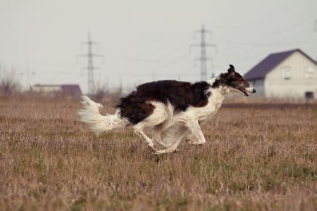 russian hunting sighthound photo