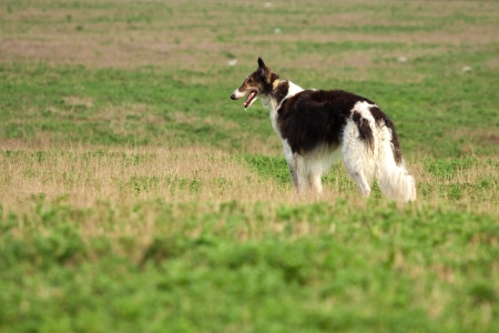 russian hunting sighthound Stock Photo - 14007094
