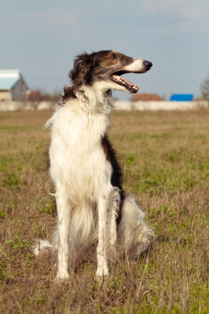 russian hunting sighthound photo